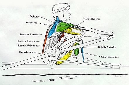 Rowing Machine Muscles Used Complete Breakdown Rowing