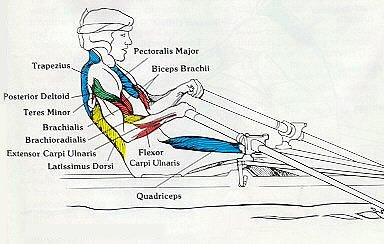 Rowing Machine Muscles Used Drive Arm Pull