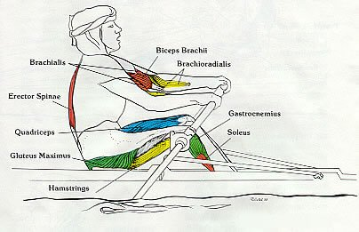 Rowing Machine Muscles Used Drive Body Swing