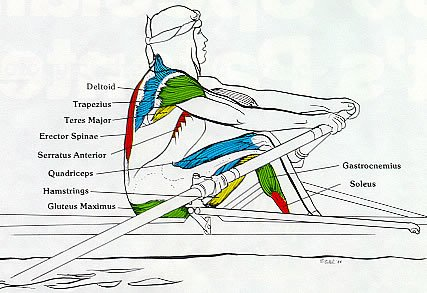 Rowing Machine Muscles Used Drive Legs