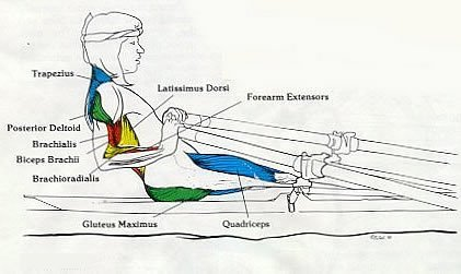 Rowing Machine Muslces Used Finish