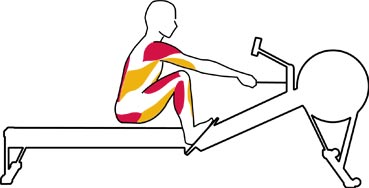 does rowing machine lose belly fat