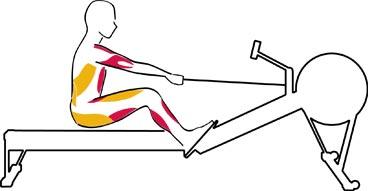 rowing machine benefits stomach